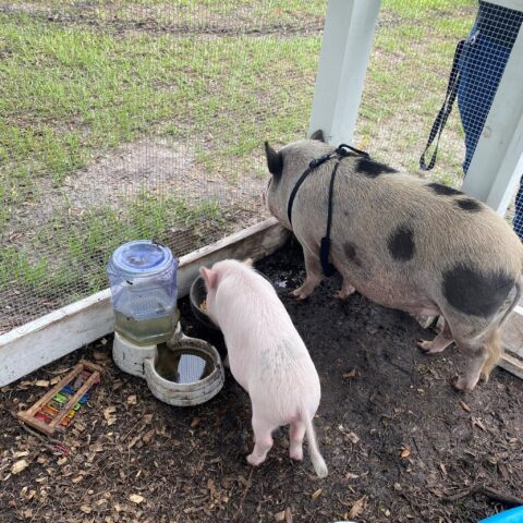 wilbur and babe