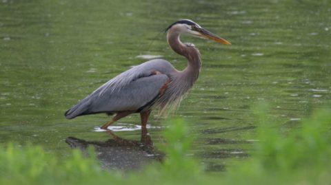 Bird - Crane in water Image