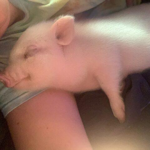 pink baby pig sleeping