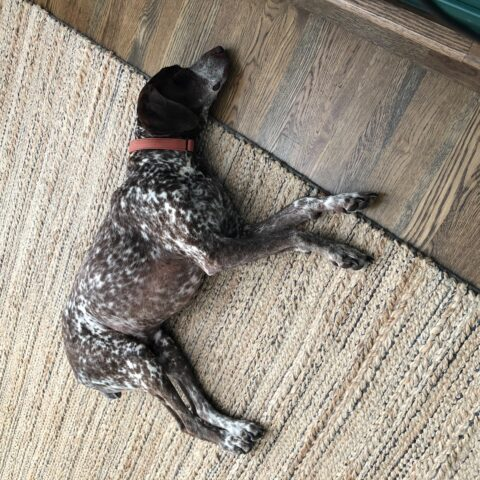 spotted cattle dog laying down
